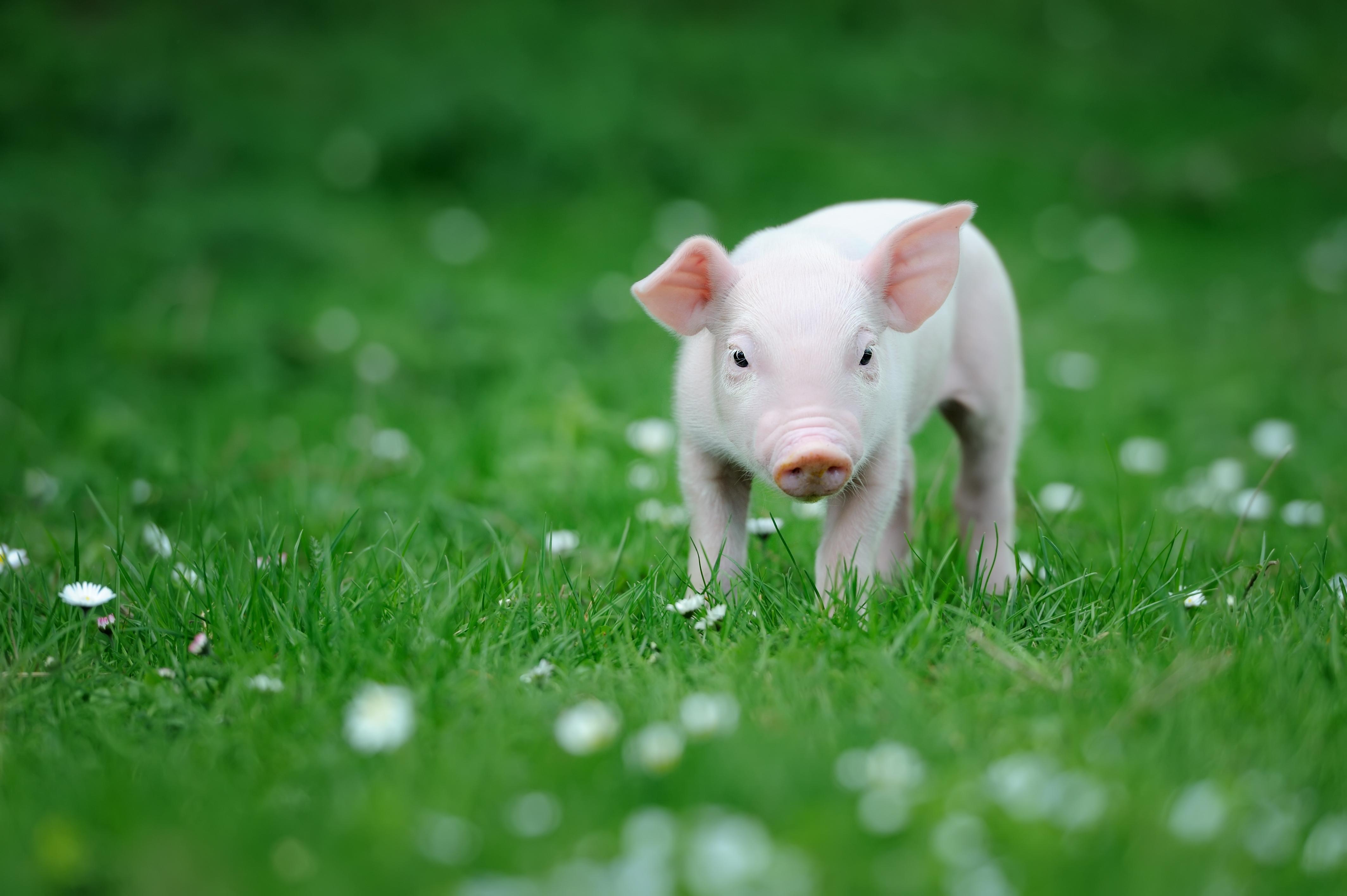 """""""猪""""事不顺!"""